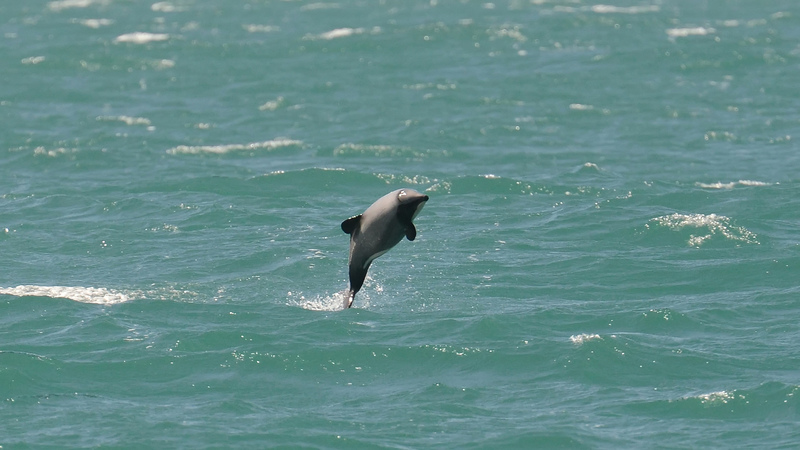 Dolphins in Akaroa. Photo: Flickr / Jocelyn Kinghorn